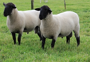 From there on, Warra J Suffolks expanded by purchasing another 4 quality ewes from Burwood Stud.