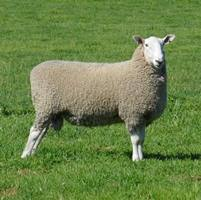 Our Warra-M Border Leicester sale rams have high border dollar indexes and lamb plan data which is well above breed averages and are presented to our clients in great working condition ready to do the job.