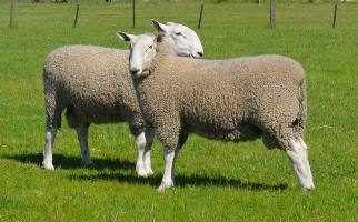 Warra-M Borders provide structurally sound sheep, with excellent growth and muscle. We focus on breeding ewes with excellent milking ability with high quality wool.